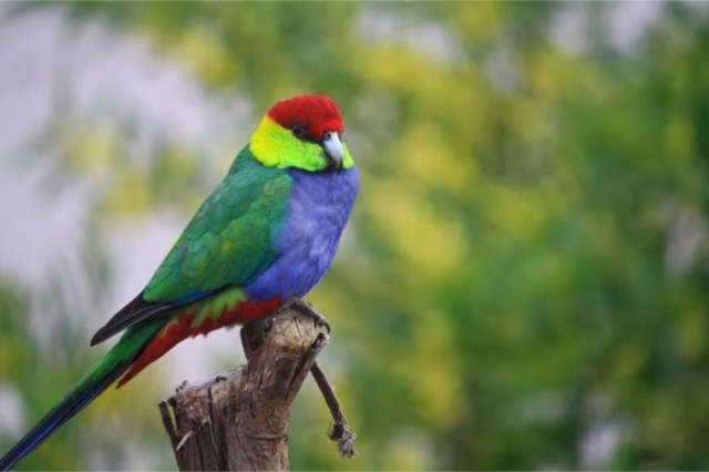 1f05f-redcappedparrot
