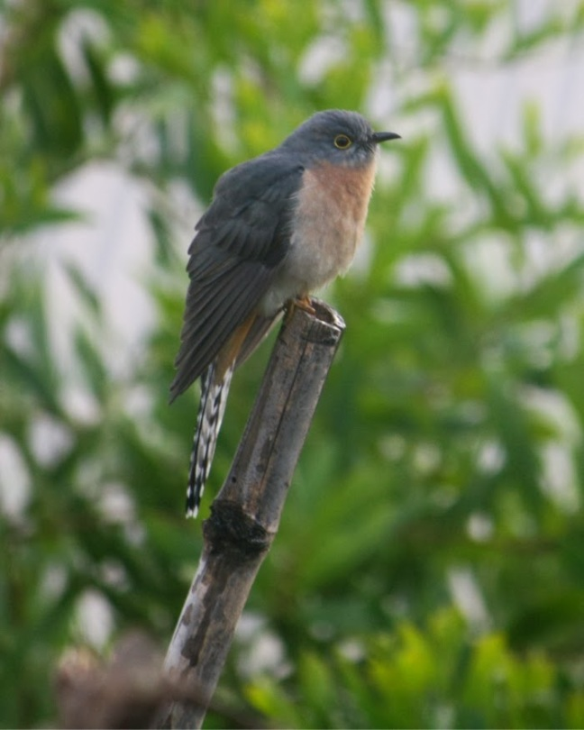 a10c9-cuckoo