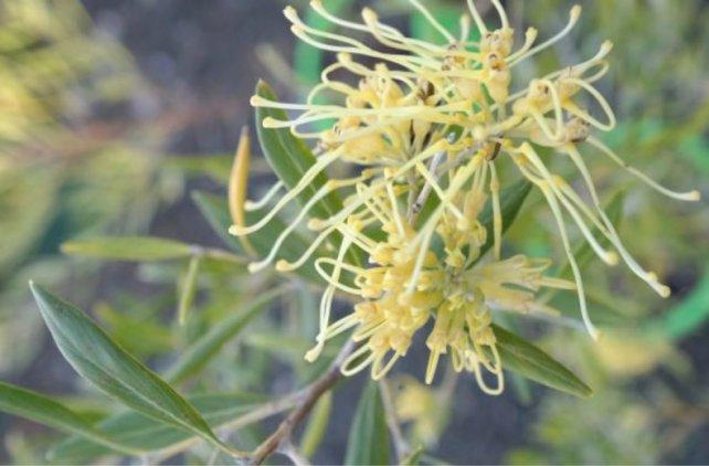 grevillea olivavea pp