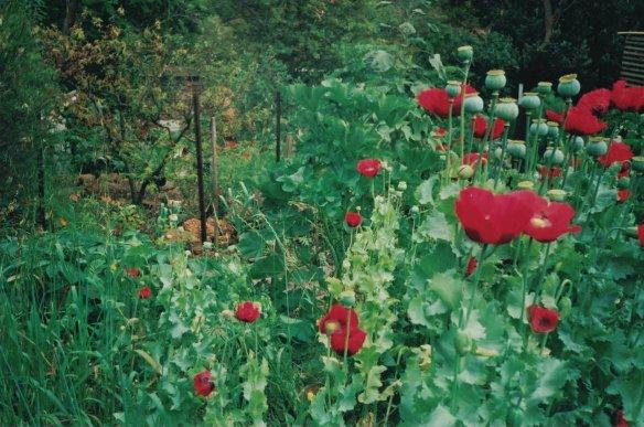 pettyfrench poppies