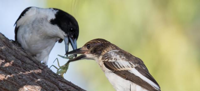 greybutcherbird petitparadis