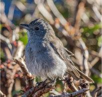 grey shrike thrush pp