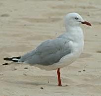 petitp silvergull
