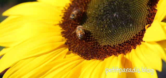 petitparadis sunflower