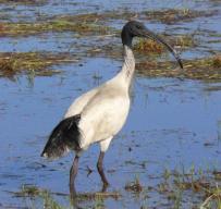 pp white ibis