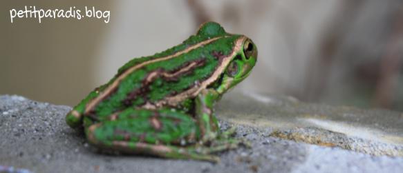 frog pp