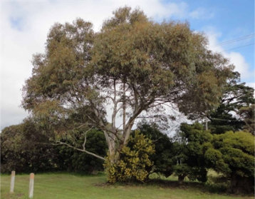 eucalyptus leucoxylon rosea