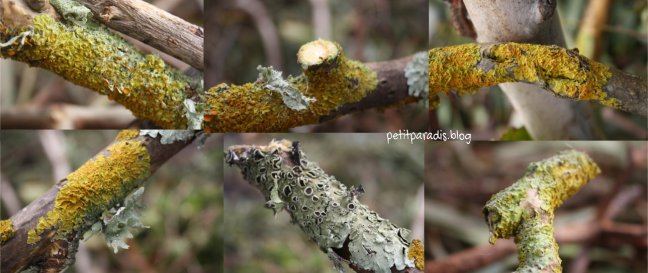 lichen petit paradis