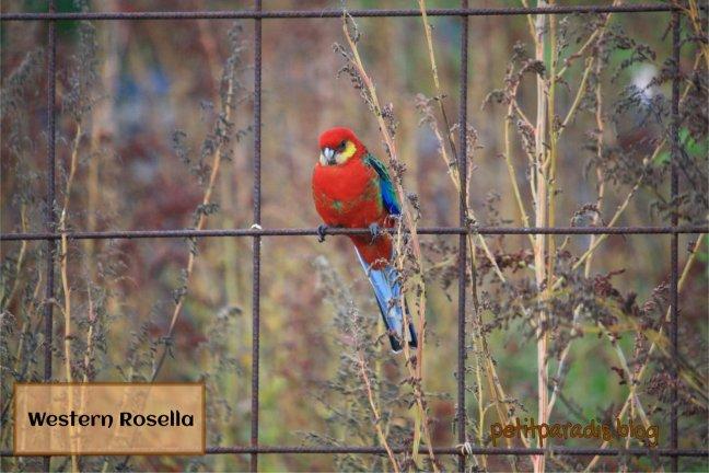 male rosella pp
