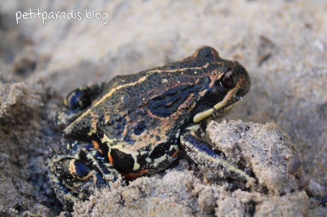 petit paradis moaning frog sp