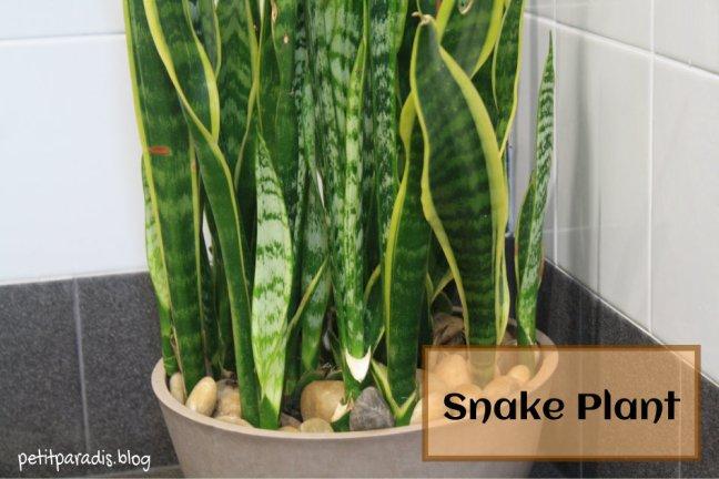 petit paradis snake plant