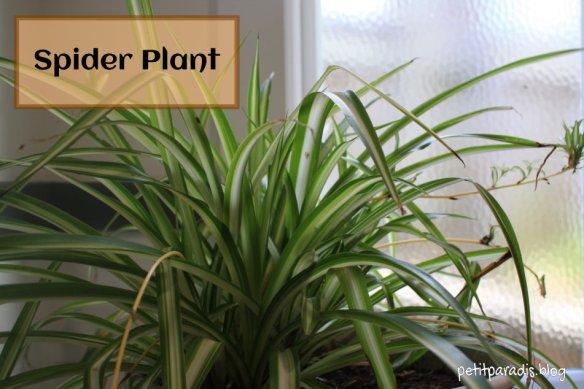 petitparadis spider plant