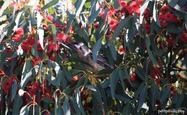red wattlbird