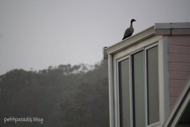 pp w duck 1