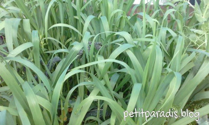 green manure crop pp