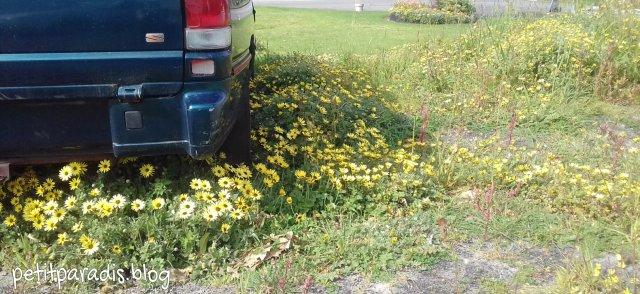 cape daisies pp