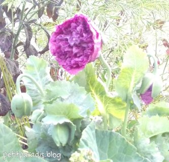 poppies pp